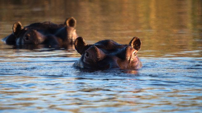 hippo pools | kwando | mazambala island lodge | caprivi strip | namibia