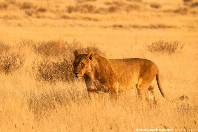 löwen etosha nationalpark namibia