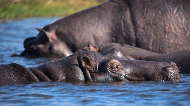 hippos | sedudu island | chobe riverfront | kasane | botswana