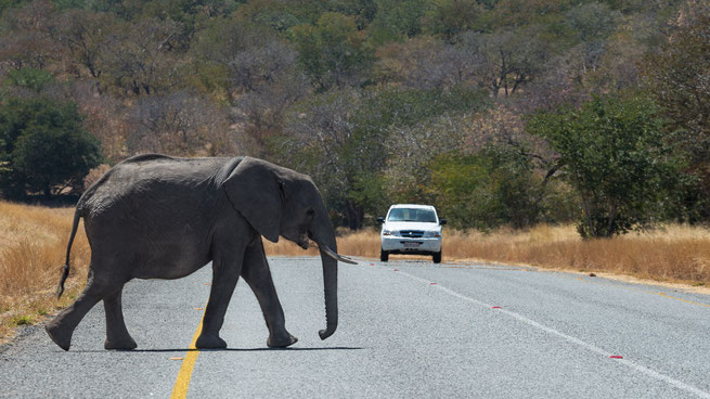 elephant crossing | chobe riverfront | kasane | botswana