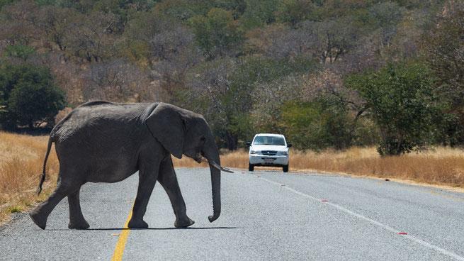 elephant crossing | chobe riverfront | kasane | botswana