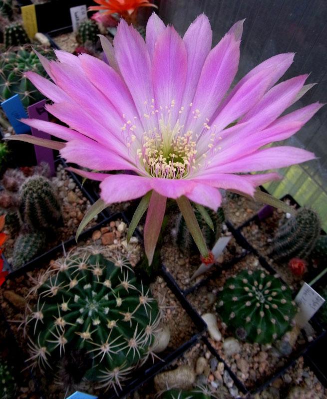 rosa Blüte