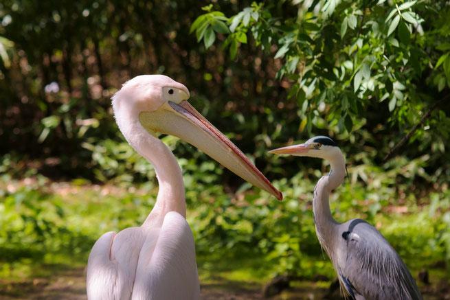 grosser-und-kleiner-pelikan-tiere