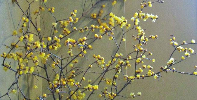 春一番早い花のひとつ、ロウバイ(群馬県磯部温泉にて2016年1月)