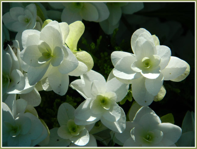 ortensia hydrangea quercifolia snowflak