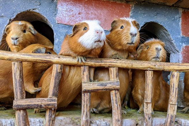 Meerschweinchen als Touristenattraktion in Peru, Foto: Geeske Joel
