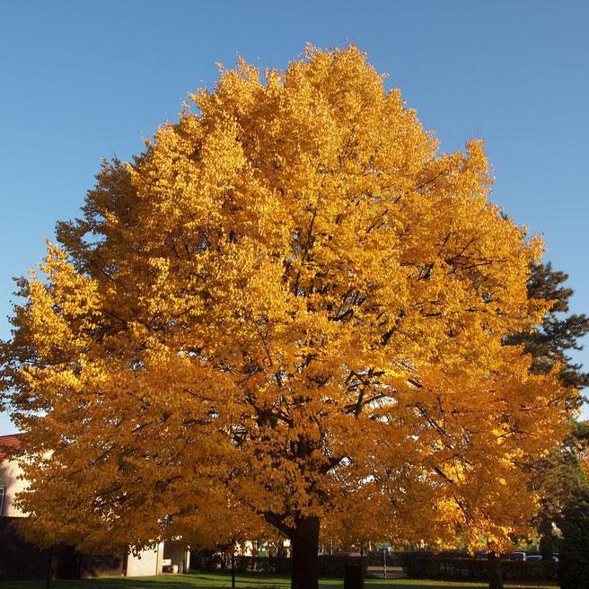 Habitus im Herbstaspekt 2015; Foto H .Kuhlen