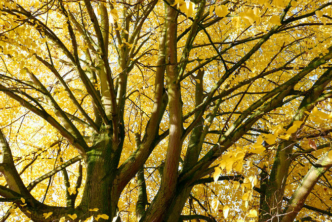 Kronenblick im Herbstaspekt 2015; Foto H. Kuhlen