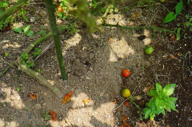 陶芸家 ブログ 茨城県笠間市 土鍋 トマト ハクビシン被害 旬の野菜