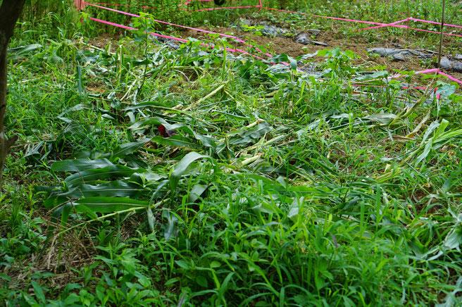 陶芸家 ブログ 茨城県笠間市 土鍋 トウモロコシ イノシシ被害 旬の野菜