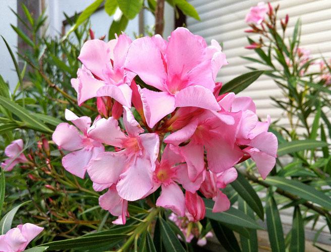 OLEANDER HAUS, Oleander Garten, Hardy Pink