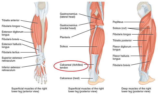 *アキレス腱=Achilles (Calcaneal) tendon