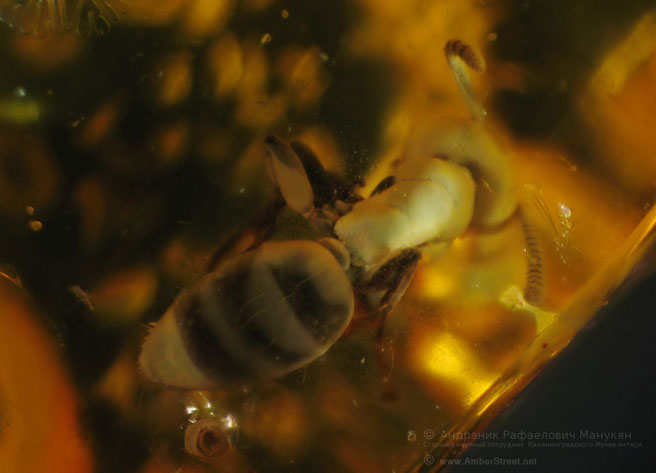 Инклюзы в янтаре:  Hymernoptera, Formicidae