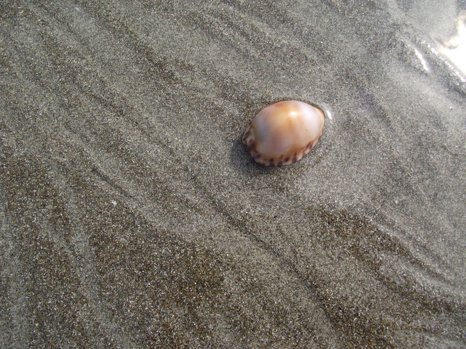 cowrie at Los Frailes