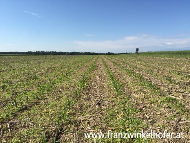 Ein Bild aus dem Vorjahr: Mais in Direktsaat, die bereits gelb werdenden Unkräuter zeigen die Wirkung des Herbizides.