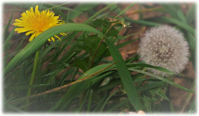 Löwenzahnblüte & Pusteblume