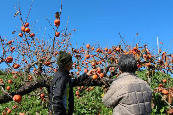 柿酢の原料の柿を収穫している様子