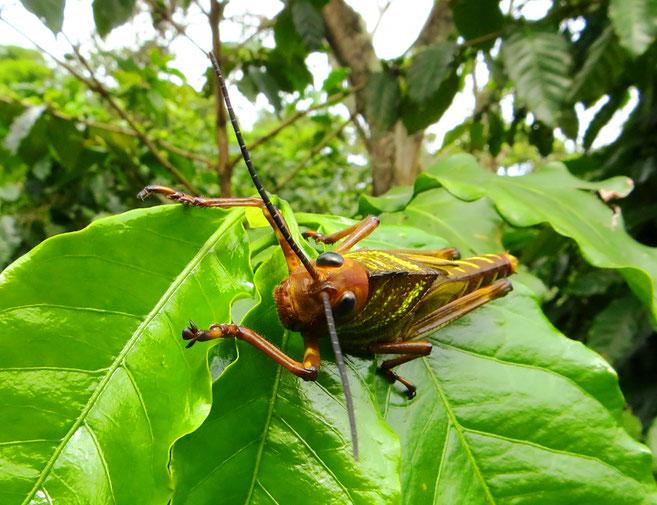 Es müssen nicht immer grosse Tiere sein. An der Ruta de Las Flores gibt es viele dieser schönen grossen Heuschrecken.