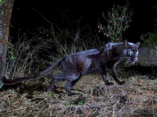 13 febbraio 2019 - Un raro avvistamento del leopardo nero nell'altopiano Laikipia, Kenya (foto Will Burrard-Lucas)