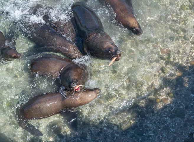 Puerto Montt Seehunde am mampfen