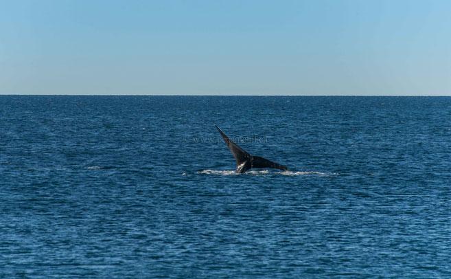 Die Schwanzfluke ist bei einem ausgewachsenen Wal 5 Meter breit