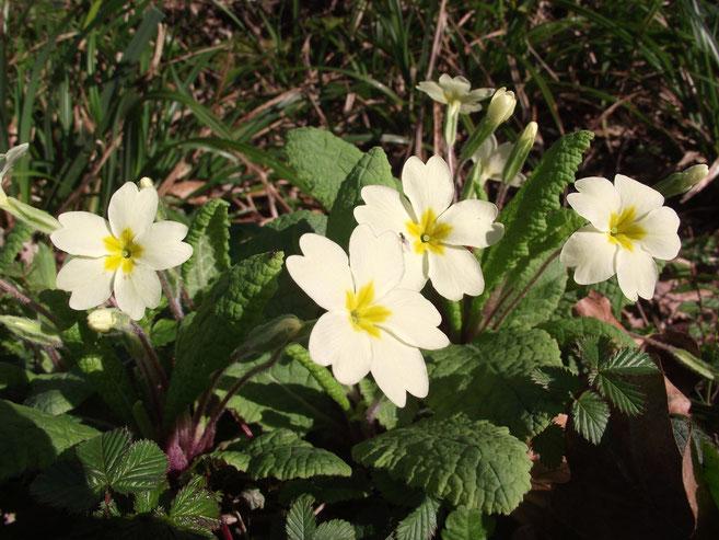 primroses, flowers in Spring