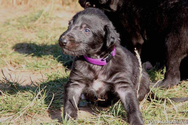 Hübsche Deerhound Welpen abzugeben! Scottish Deerhounds! Zottelige Windhunde mit fantastischem Wesen-der Deerhound!