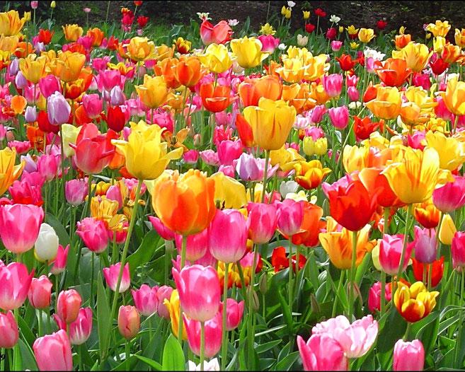 Tulipani colorati rappresentano al meglio la Primavera ♥