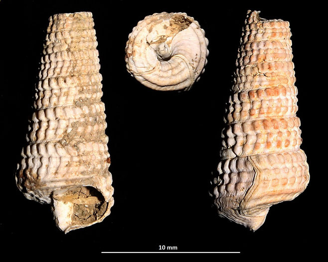 Potamides tricinctus, Macchia della Turchina (Monteromano, VT)