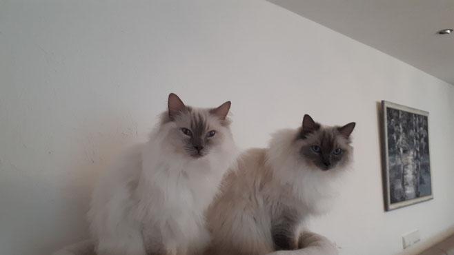 Kajika Rags' Isi & Iye * 17.6.2012, beide blue colourpoint suchen dringend ein neues Zuhause
