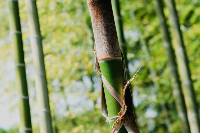 筍を包む竹皮は成長とともに剥離して青々とした表皮を見せます