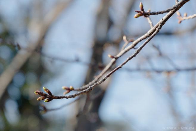 桜の花芽。河津桜?