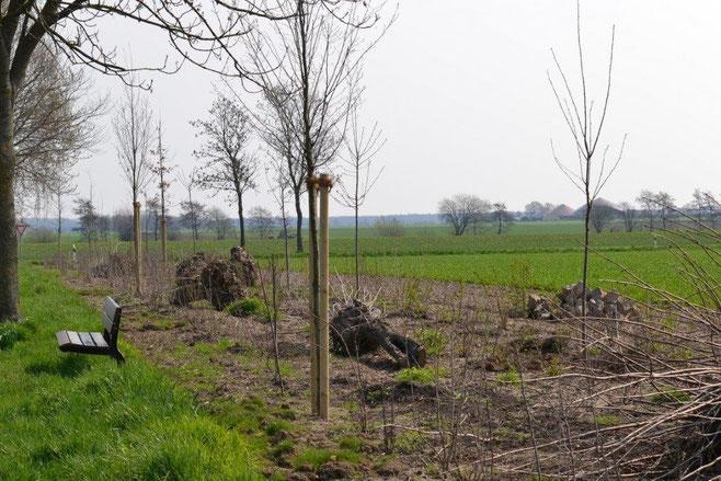 12 Vogelkirschbäume wurden in die Hecke gepflanzt, da die Vogelkirsche 48 verschiedenen Vogelarten Nahrung bietet