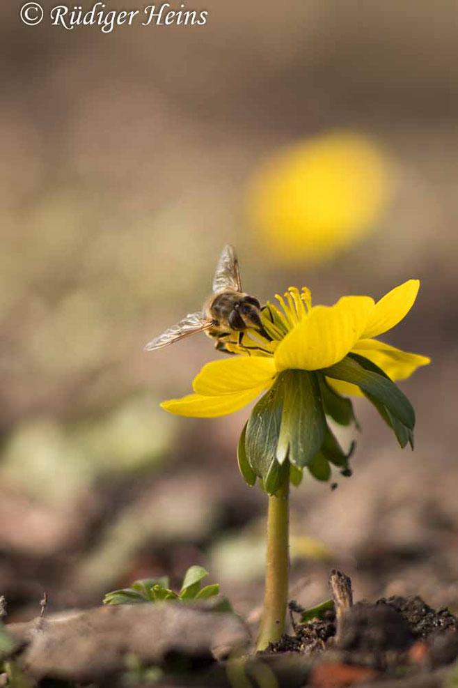 Winterling (Eranthis hyemalis) mit Bienenbesuch - 22.2.2021
