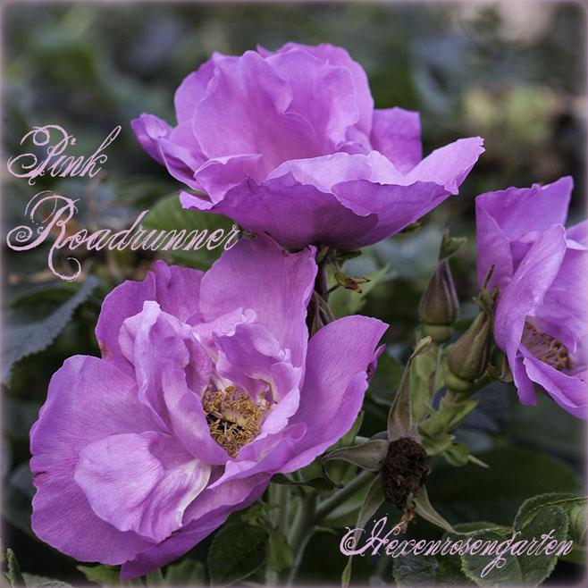 Rosen Hexenrosengarten Rosenblog Rosenrezepte Küchenrosen Duftrosen Rugosa Pink Roadrunner