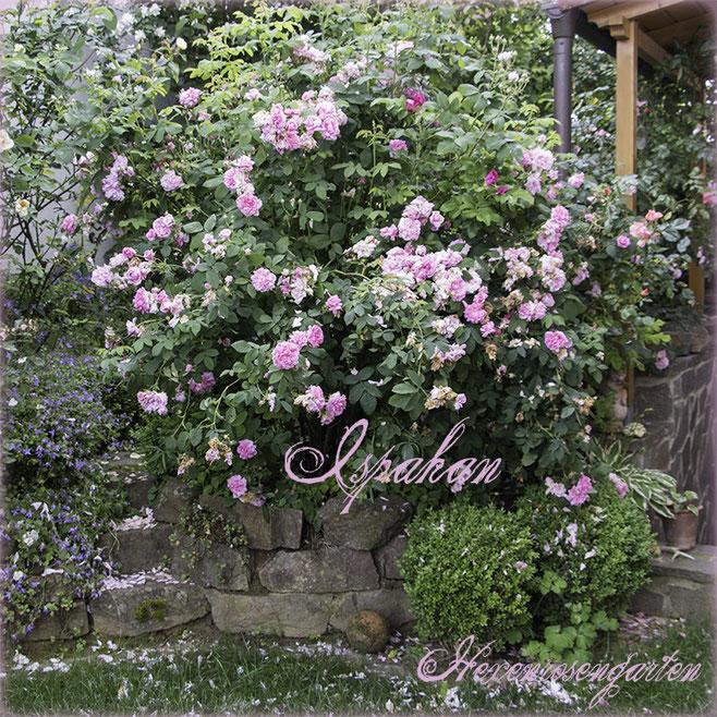 Rosen Hexenrosengarten Rosenblog Rosenrezepte Küchenrosen Duftrosen Ispahan