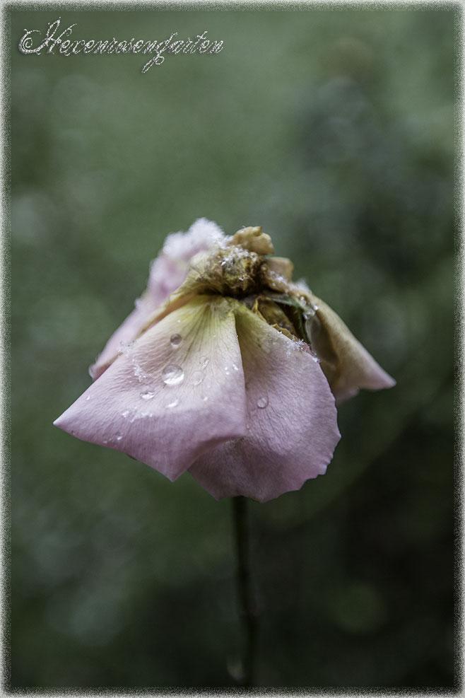 Hexenrosengarten Rosenblog Novemberblues Morbide Rosen Romantischer Rosengarten  Jackson Perkins Rose Poesie