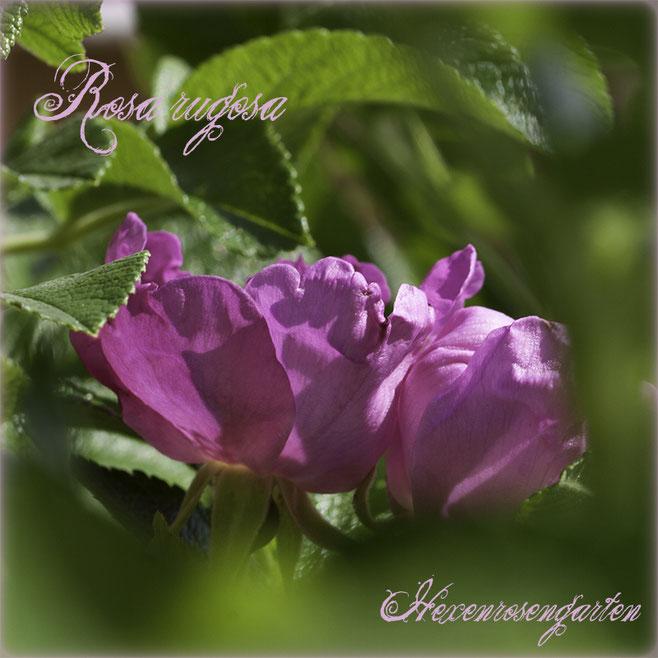 Rosen Hexenrosengarten Rosenblog Rosenrezepte Küchenrosen Duftrosen Rosa Rugosa