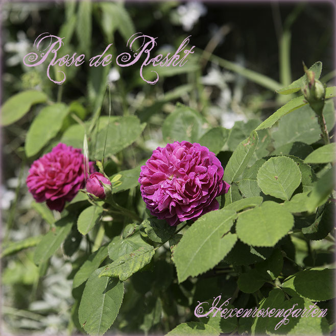 Rosen Hexenrosengarten Rosenblog Rosenrezepte Küchenrosen Duftrosen Rose de Resht