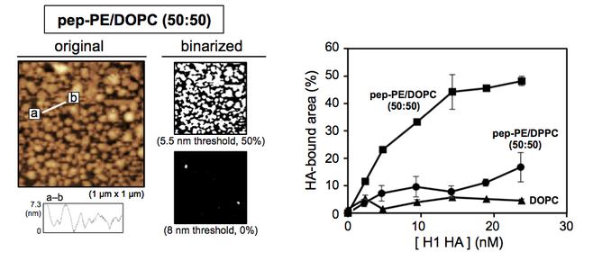 図2 HAを相互作用させた後のpep-PEを50%含む膜のAFM画像(左)とHAの結合量の濃度依存性(文献1)。