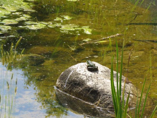 fischfreier Teich, Frosch