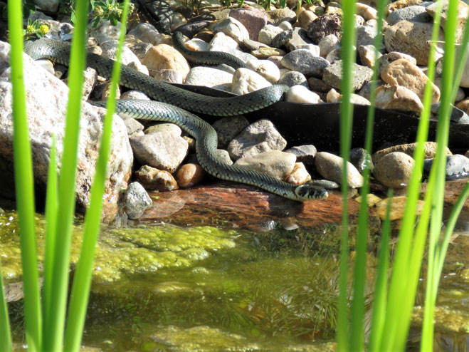Ringelnatter (natrix natrix) am Gartenteich