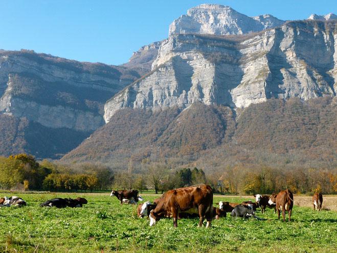Vaches la ferme de crolles