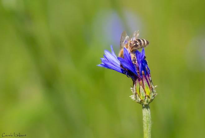 Biene auf einer aufgehenden Kornblume