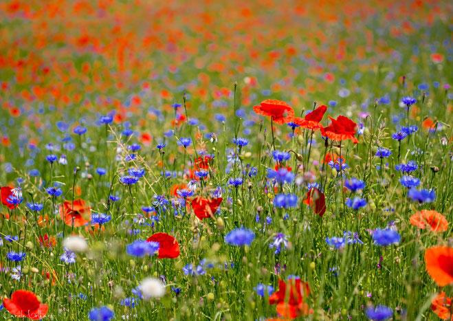 Mohn gemischt mit Kornblumen und sonstigen Wildblumen