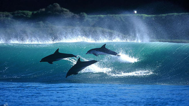 Dolphins ride the waves off the coast of South Africa. (Greg Huglin/greghuglin.com).