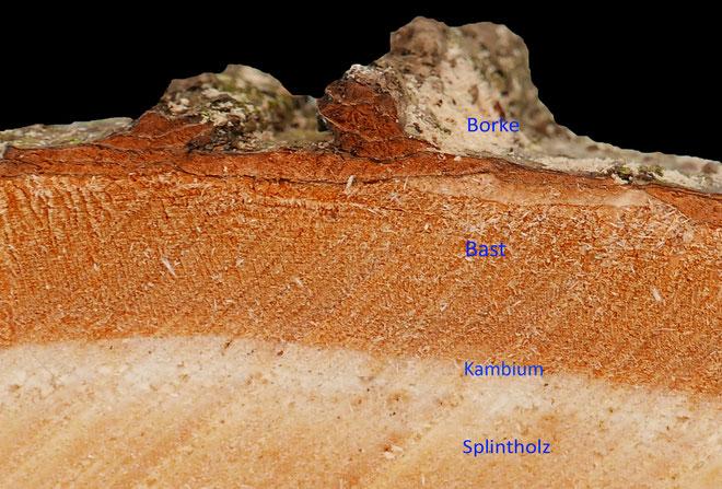 Detail einer frisch geschlagenen Linde von der Borke bis zum Splintholz. Foto H.Kuhlen, Aufnahme-Datum: 26.01.2017