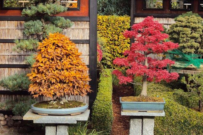 "Jap. Kerbbuche (fagus crenata) - prämierter Baum ""NRW-Bonsai-Tage 2013"" / Jap. Fächerahorn  ""shishigashira"""