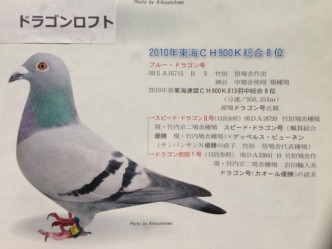 この鳩は「銘鳩ドラゴン号」の「近親鳩」で「名血」で固められた現在の私の「代表鳩」の一羽として、私の手元で「飼育」している「ブルードラゴン号」だ。この一羽が出来るまで20年近くの歳月が流れ、多くのレース鳩の犠牲の上での、私の「宝物」のひとつである。この鳩を飛ばしてくれた神谷中には、心より感謝している。「友達よありがとう」この一言を、ここで云いたい