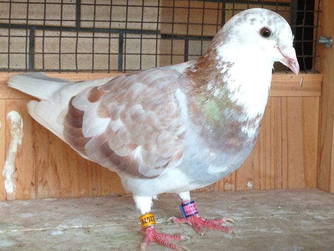 写真は神谷中鳩舎のブログでお馴染みの「白頭巾姉さん号」1年目は悪天候の大間GP800Kを帰り、2年目で余市CH1000Kを帰った有名な鳩である「竹垣悟作出・現種鳩」